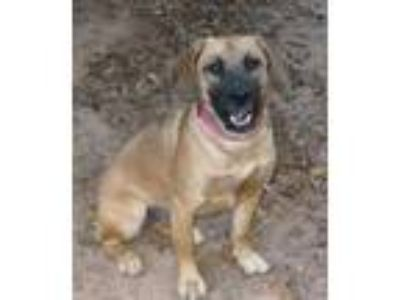 Adopt Qato a German Shepherd Dog, Basset Hound