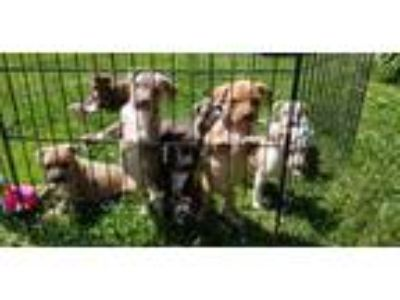Adopt Pitbull puppies a Pit Bull Terrier