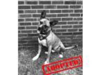 Adopt Ralphie a Tan/Yellow/Fawn Boxer / Mixed dog in Savannah, GA (22269245)