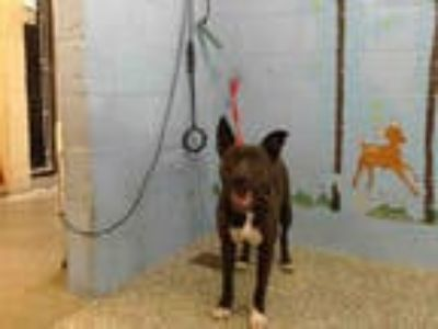 Adopt a Black - with White American Pit Bull Terrier / Mixed dog in San