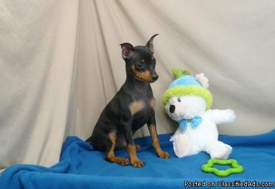 TYUSERY MINIATURE PINSCHER PUPPIES AVAILABLE FOR SALE Text: (4O4) 692 XX 3714