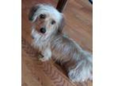 Adopt Sparky a Wirehaired Dachshund