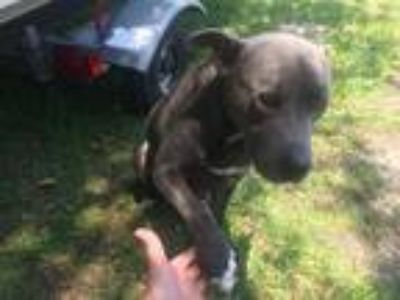Adopt Blue Boy a Pit Bull Terrier / Mixed dog in Gainesville, FL (25837013)