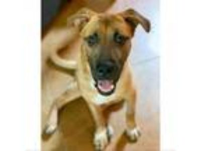 Adopt Sunflower a German Shepherd Dog