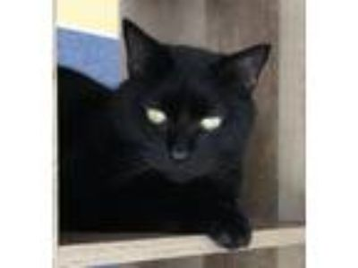 Adopt Lance / Billy a Domestic Short Hair