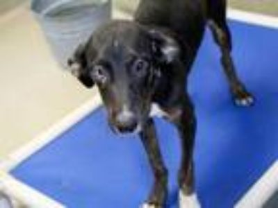 Adopt a Black Catahoula Leopard Dog / Labrador Retriever / Mixed dog in Austin