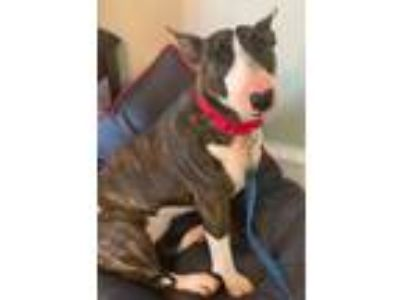 Adopt Stella a Brindle Bull Terrier / Mixed dog in Chester Springs