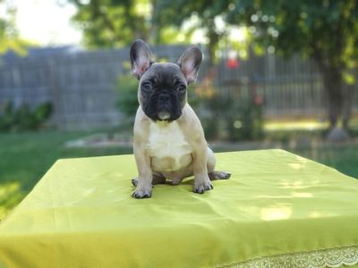 French Bulldog PUPPY FOR SALE ADN-95779 - FrenchieZ PuP