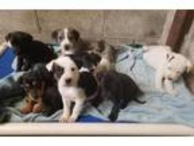 Adopt Darby's puppies *Fosters needed starting 6/9* a Australian Shepherd /
