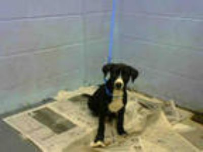 Adopt PENNY a Black - with White Labrador Retriever / Mixed dog in Atlanta