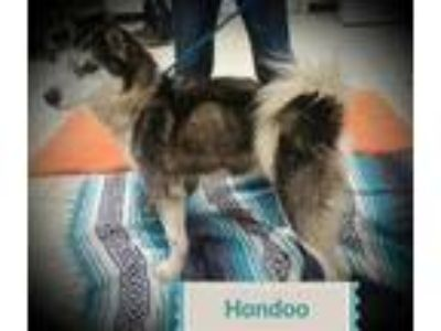 Adopt Hondo a Siberian Husky / Mixed dog in Madison, NJ (25315399)