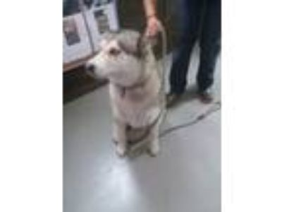 Adopt ASHA a Gray/Silver/Salt & Pepper - with White Siberian Husky / Mixed dog