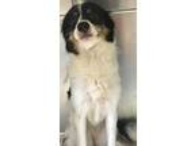 Adopt Larissa a Tricolor (Tan/Brown & Black & White) Border Collie / Mixed dog