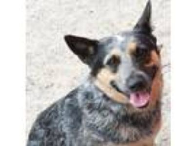 Adopt Clara a Australian Cattle Dog / Blue Heeler