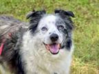Adopt Jake a White - with Black Australian Shepherd / Mixed dog in Greenbelt