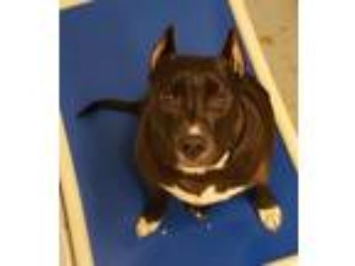 Adopt Arthur a Black Pit Bull Terrier dog in Weatherford, TX (25267974)