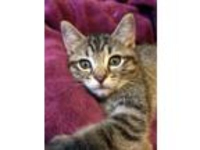 Adopt Fish--In Foster a Domestic Short Hair