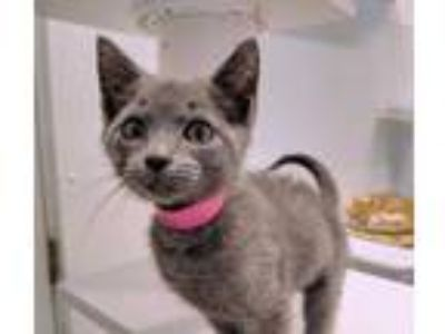 Adopt Mink a Gray or Blue Domestic Shorthair / Domestic Shorthair / Mixed cat in