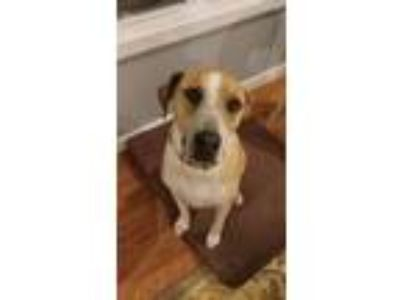 Adopt Tyson a Tan/Yellow/Fawn - with White Pointer / Labrador Retriever / Mixed