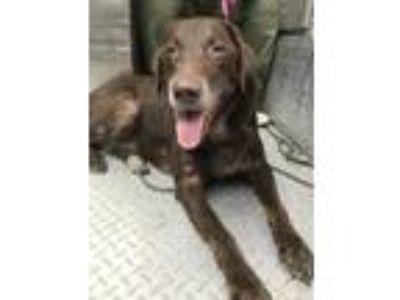 Adopt 41747745 a Brown/Chocolate Labrador Retriever / Mixed dog in Edinburg