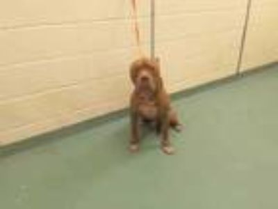 Adopt HODGE a Brown/Chocolate - with White Mixed Breed (Medium) / Mixed dog in