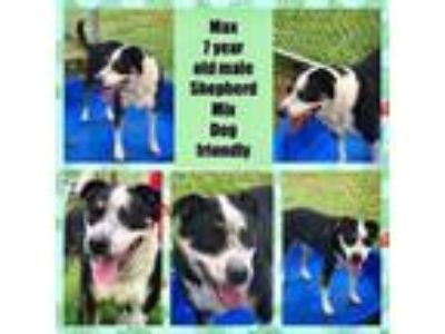 Adopt Max a Shepherd, Mixed Breed