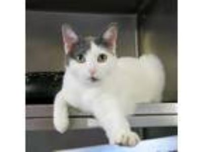 Adopt Celina a White Domestic Shorthair cat in Northbrook, IL (24449048)