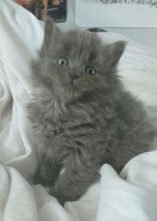 Female persian and rex mixed kitten gray