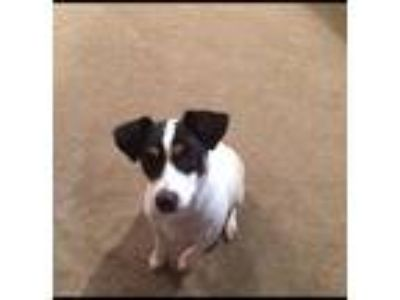 Adopt Rocky a White - with Black Rat Terrier dog in Pace, FL (25631728)