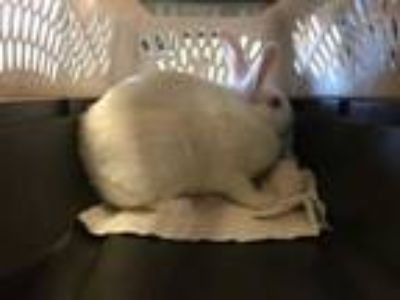 Adopt GINA a White Other/Unknown / Mixed rabbit in Goleta, CA (24177385)