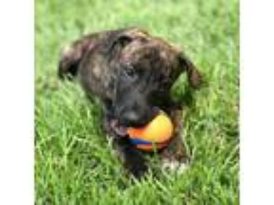 Adopt Tanana a Dutch Shepherd / German Shorthaired Pointer / Mixed dog in