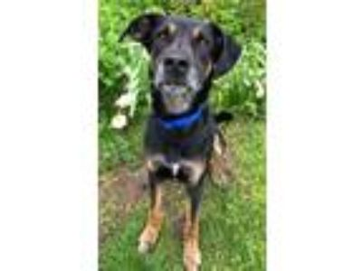 Adopt Tiller a Black - with Tan, Yellow or Fawn Shepherd (Unknown Type) / Mixed