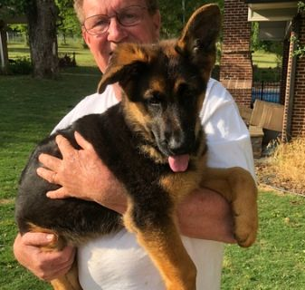 German Shepherd Dog PUPPY FOR SALE ADN-73317 - Puppies from Son of World Champion Sieger