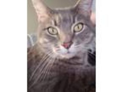Adopt Tom a Domestic Short Hair, American Shorthair