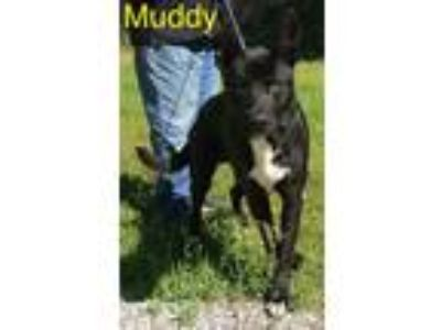Adopt Muddy a German Shepherd Dog, Pit Bull Terrier
