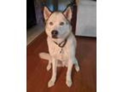 Adopt Kona a Gray/Silver/Salt & Pepper - with White Siberian Husky / Mixed dog