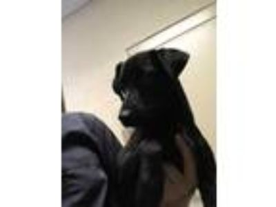 Adopt Max* a Black Jack Russell Terrier / Mixed dog in Anderson, SC (25323657)