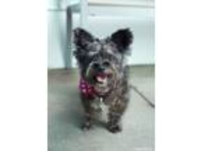 Adopt Lotus a Cairn Terrier, Poodle