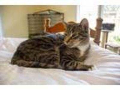 Adopt Maizy a American Shorthair, Domestic Short Hair
