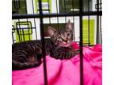 Adopt Purrcy a Domestic Short Hair, Tabby