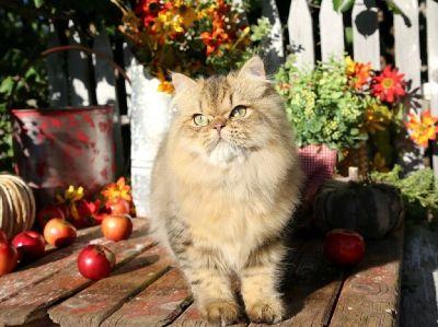 Stunning Gold Persian Kitten