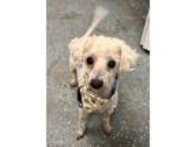 Adopt Huffle Puff a Poodle (Standard) / Mixed Breed (Medium) / Mixed dog in Fort