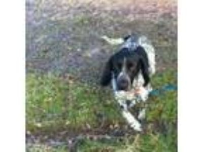 Adopt Garbanzo a German Shorthaired Pointer