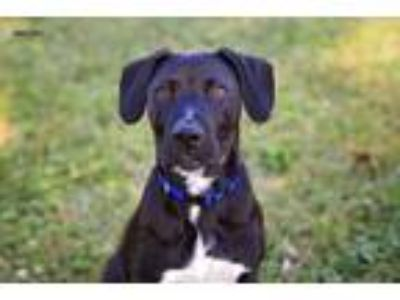 Adopt Herman a Black - with White Labrador Retriever / American Staffordshire