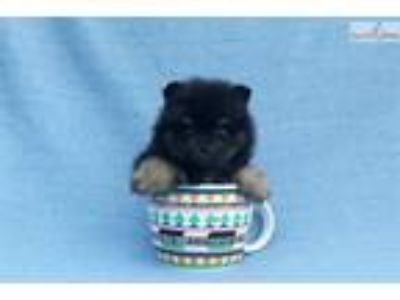 Purebred teacup pomeranian puppy male,Baby Doll
