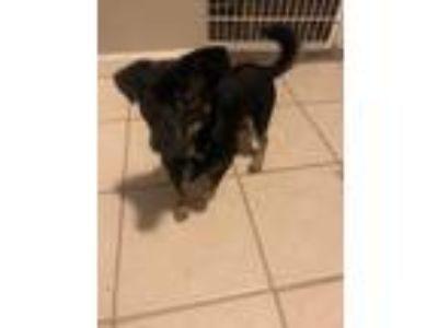 Adopt Odie a Black - with Tan, Yellow or Fawn Miniature Pinscher dog in Harrison