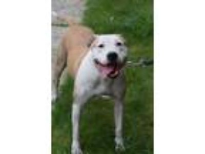 Adopt Sunday a Pit Bull Terrier