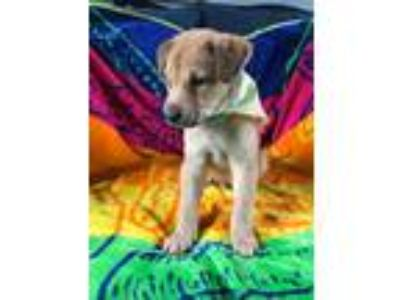 Adopt Chevy a Tan/Yellow/Fawn - with Black Retriever (Unknown Type) / Collie /