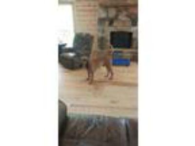 Adopt Theo a Bloodhound, Coonhound