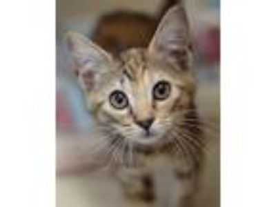 Adopt Lelou a Domestic Shorthair / Mixed cat in Novato, CA (25887361)